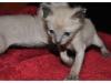koty-tonkijskie-28