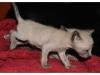 koty-tonkijskie-31