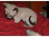 koty-tonkijskie-32