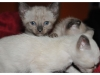 koty-tonkijskie-34