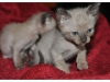 koty-tonkijskie-35