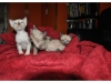 koty-tonkijskie-39