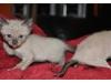 koty-tpnkijskie-01